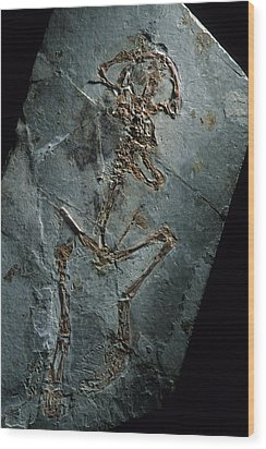 This 124 Million Year Old Frog Fossil Wood Print by O. Louis Mazzatenta