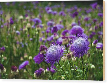 Thistle Field Wood Print by Tamyra Ayles
