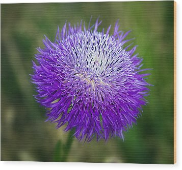 Thistle I Wood Print by Tamyra Ayles