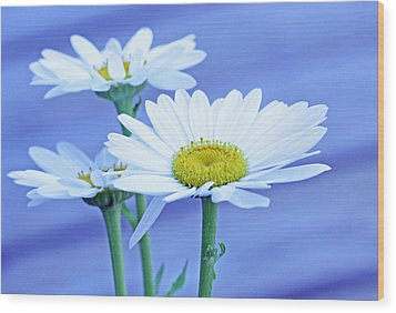 Three Daisies Wood Print by Becky Lodes