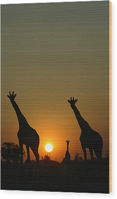 Three Giraffes Stand At Sunset Wood Print by Beverly Joubert
