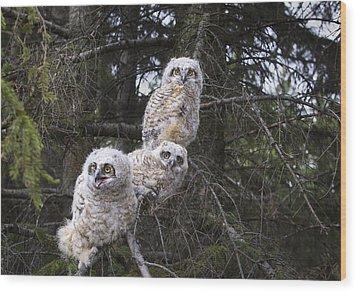 Three Great Horned Owl Bubo Virginianus Wood Print by Richard Wear