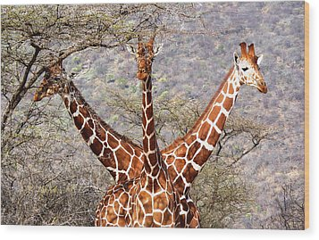 Three Headed Giraffe Wood Print