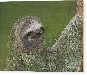 Three-toed Sloth Wood Print by Heiko Koehrer-Wagner