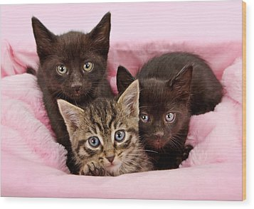Threee Kittens In A Pink And White Basket Wood Print by Susan Schmitz