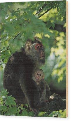 Tibetan Macaque Nursing Baby Wood Print by Cyril Ruoso