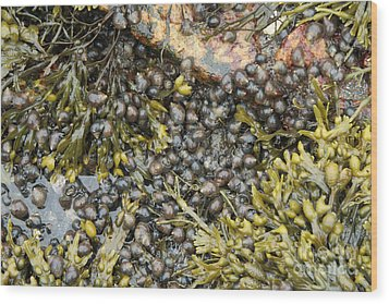 Tidal Pool With Rockweed Wood Print by Ted Kinsman