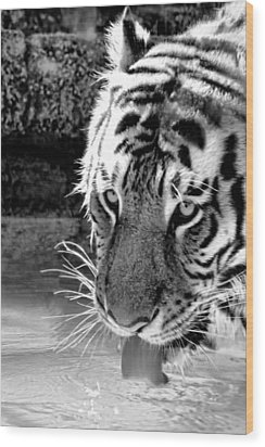 Tiger At The Watering Hole Wood Print by Tracie Kaska