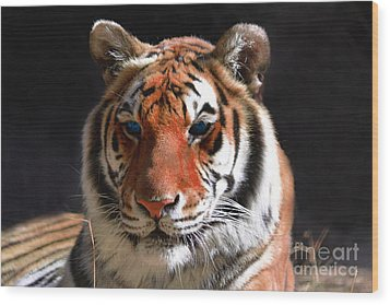 Tiger Blue Eyes Wood Print