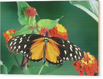 Tiger Longwing Heliconius Hecale Wood Print by Michael & Patricia Fogden