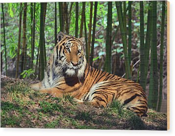 Tiger Rest And Bamboo Wood Print by Sandi OReilly
