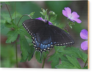 Wood Print featuring the photograph Tiger Swallowtail Female Dark Form On Wild Geranium by Daniel Reed