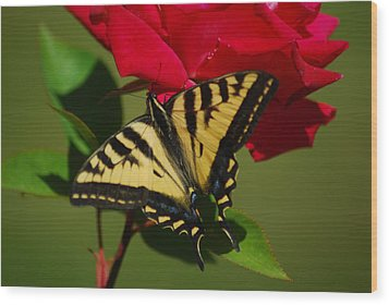 Tiger Swallowtail On A Red Rose Wood Print