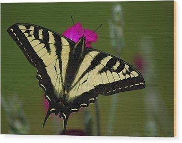 Tiger Swallowtail On Pink Wood Print