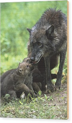 Timber Wolf Canis Lupus Mother Wood Print by Konrad Wothe