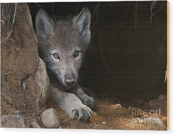 Timber Wolf Pup In Den Wood Print by Michael Cummings