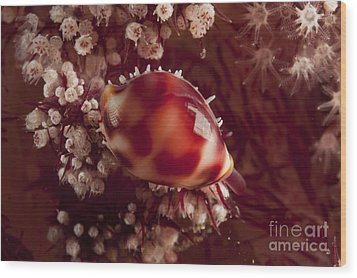 Tiny Cowrie Shell On Dendronephtya Soft Wood Print by Mathieu Meur