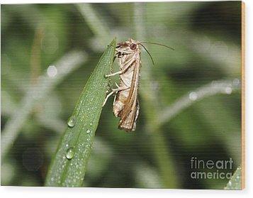 Tiny Moth Wood Print by Lynda Dawson-Youngclaus