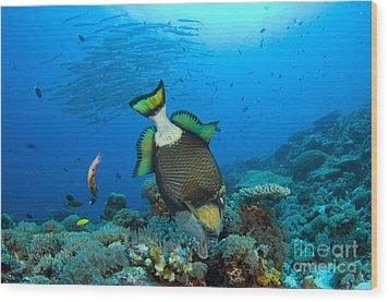 Titan Triggerfish Picking At Coral Wood Print by Steve Jones