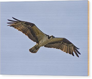 Topsail Osprey Wood Print by Betsy Knapp