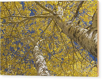 Towering Autumn Aspens With Deep Blue Sky Wood Print by James BO  Insogna