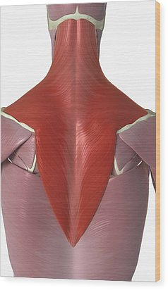 Trapezius Muscle Wood Print by MedicalRF.com
