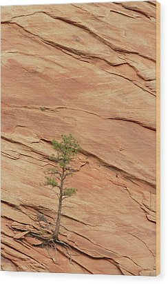 Tree Clinging To Sandstone Formation Wood Print by Gerry Ellis