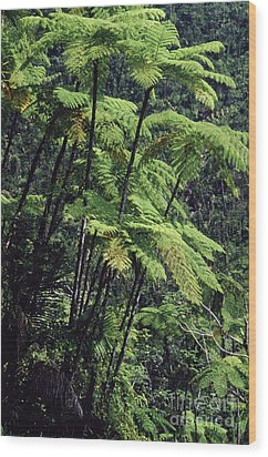 Tree Ferns El Yunque Wood Print by Thomas R Fletcher