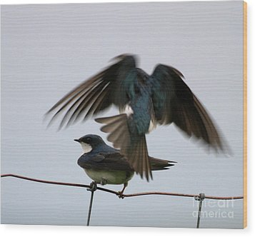 Tree Swallows Courtship Wood Print