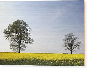 Trees In A Rapeseed Field, Yorkshire Wood Print by John Short