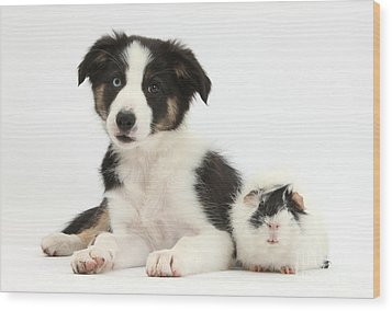 Tricolor Border Collie Pup And Guinea Wood Print by Mark Taylor