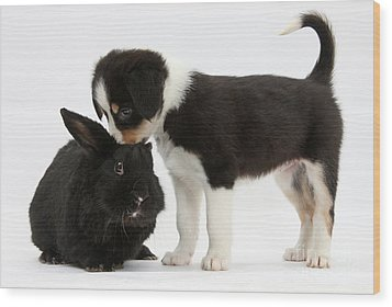 Tricolor Border Collie Pup With Black Wood Print by Mark Taylor