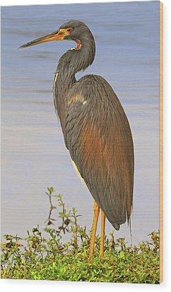 Tricolor Heron Wood Print by Dave Mills