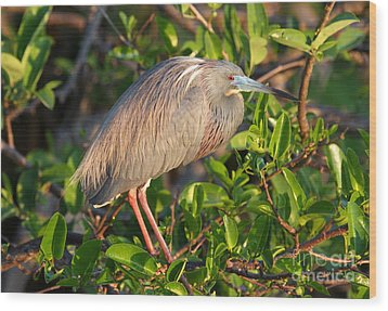 Tricolor Heron Wood Print by Jennifer Zelik