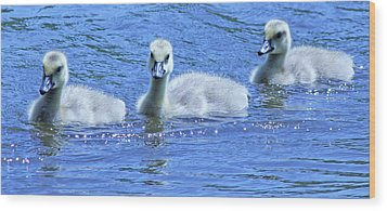 Trio Of Baby Geese Wood Print by Becky Lodes