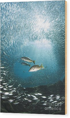 Trio Of Snappers Hunting For Bait Fish Wood Print by Todd Winner