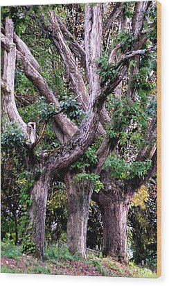Triplet Trees Wood Print by Beverly Hammond