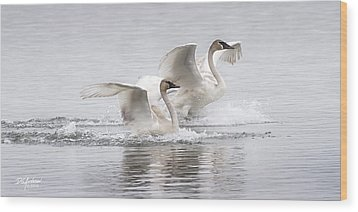 Trumpeter Swans Touchdown Wood Print