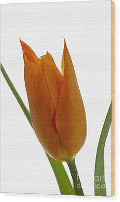 Tulip -1 Wood Print by Tad Kanazaki