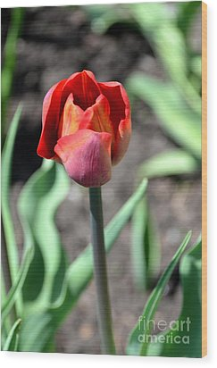 Wood Print featuring the photograph Tulip by Pravine Chester