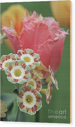 Tulip (tulipa 'fancy Frills') Wood Print by Archie Young