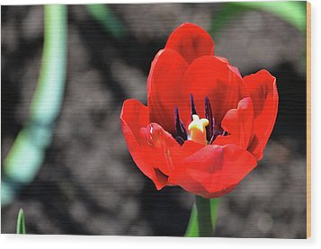 Wood Print featuring the photograph Tulips Blooming by Pravine Chester
