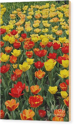 Wood Print featuring the photograph Tulips by Eva Kaufman