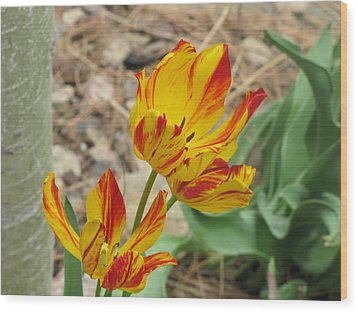 Wood Print featuring the photograph Tulips In Aspen by Shawn Hughes