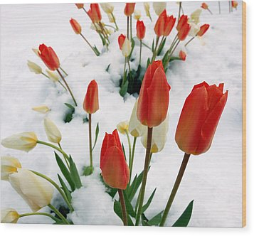 Tulips In The Snow Wood Print by Steven Milner
