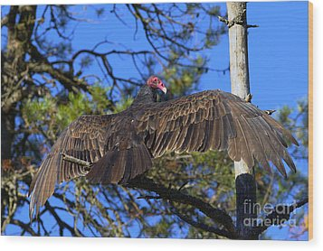 Turkey Vulture With Wings Spread Wood Print by Sharon Talson