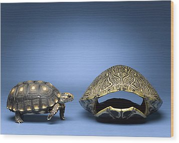 Turtle Looking At Larger, Empty Shell Wood Print by Jeffrey Hamilton