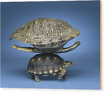 Turtle With Larger Shell On Back Wood Print by Jeffrey Hamilton