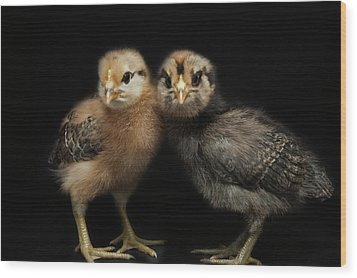 Two Baby Chicks Wood Print by Monica Fecke