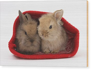 Two Baby Lionhead-cross Rabbits Wood Print by Mark Taylor